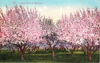 Apple Trees in Blossom, c.1914